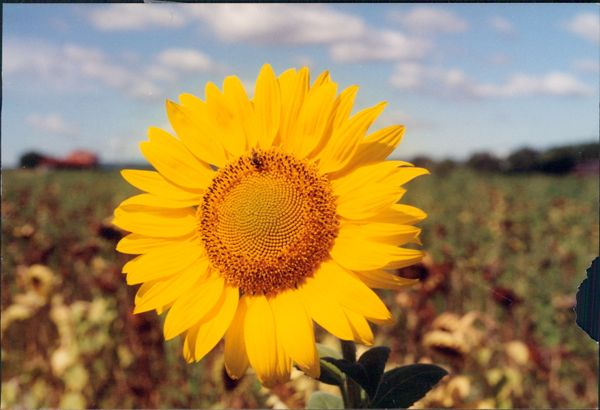 Sunflower in Provence France.