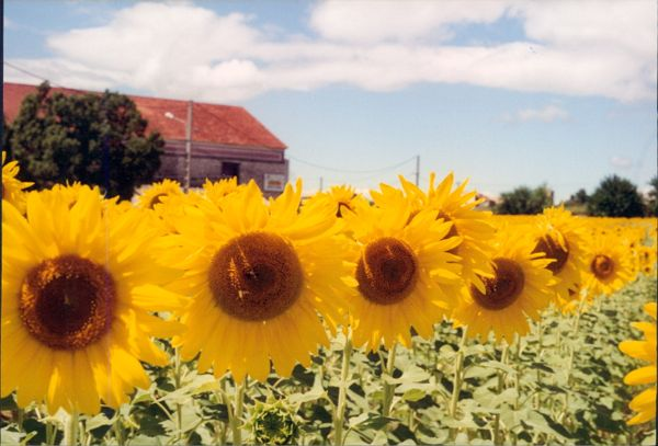 Sunflowers in Provence, France.