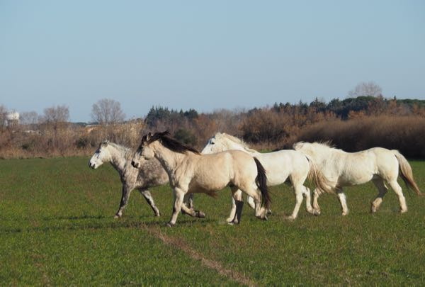 Wild (?) horses near the fortress of Aigues-Mortes