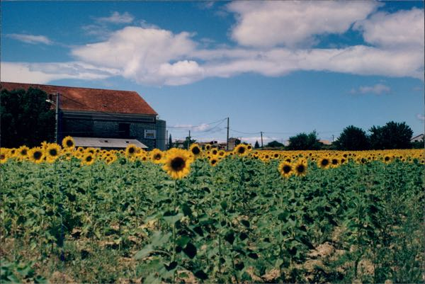 Leisurely drives through France: sunflowers