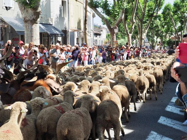 Sheep at the Fête de la Transhumance in St. Remy