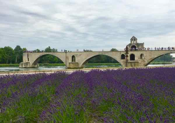 Sparse rows of lavender by Avignon's Pont Saint-Bénézet in 2017
