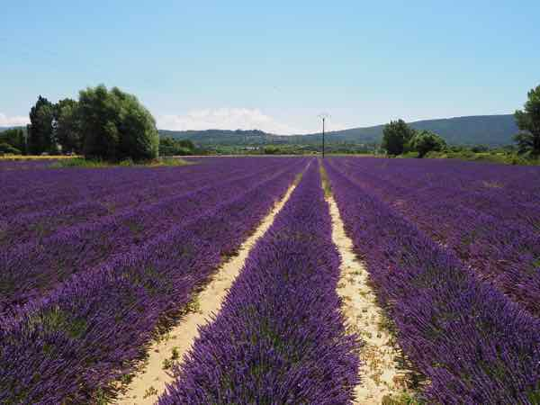 Lavender on the route from Lacoste to Goult