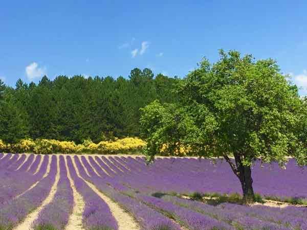 Lavender on D942