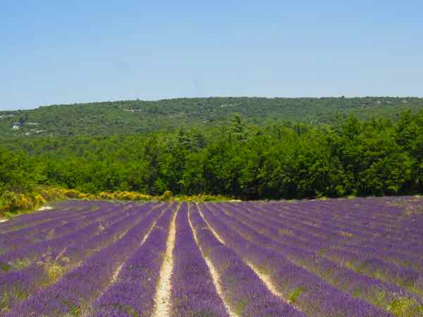 Lavender outside of Bonnieux