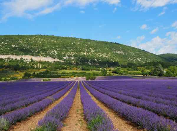 Lavender outside of Monieux