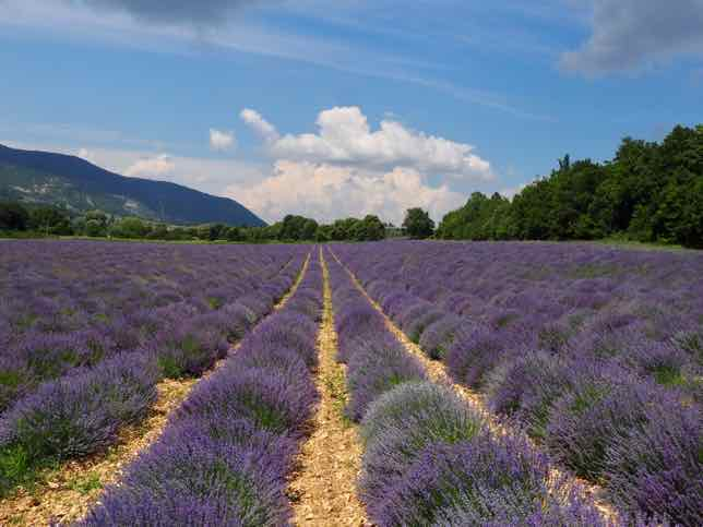 Where you can find lavender in Provence