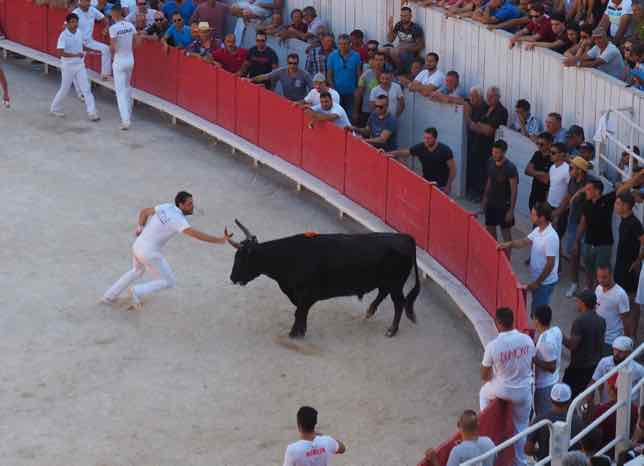 Grabbing the ribbon from the bull at la course camarguaise (J. Chung)
