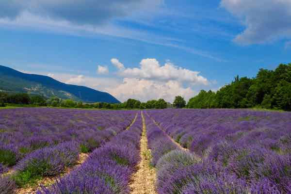 Lavender fields at Vallon des Lavandes (J. Chung)
