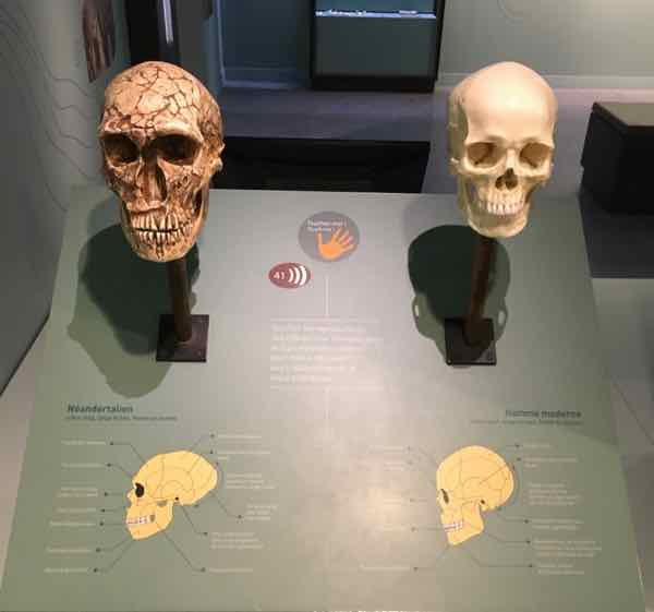 Neanderthal and modern man skulls-Aven d'Orgnac