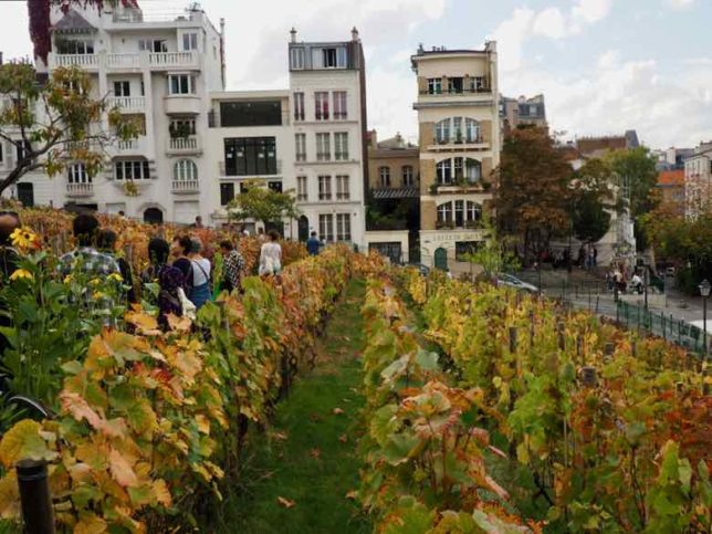 Vineyard tour in Montmartre (J. Chung)