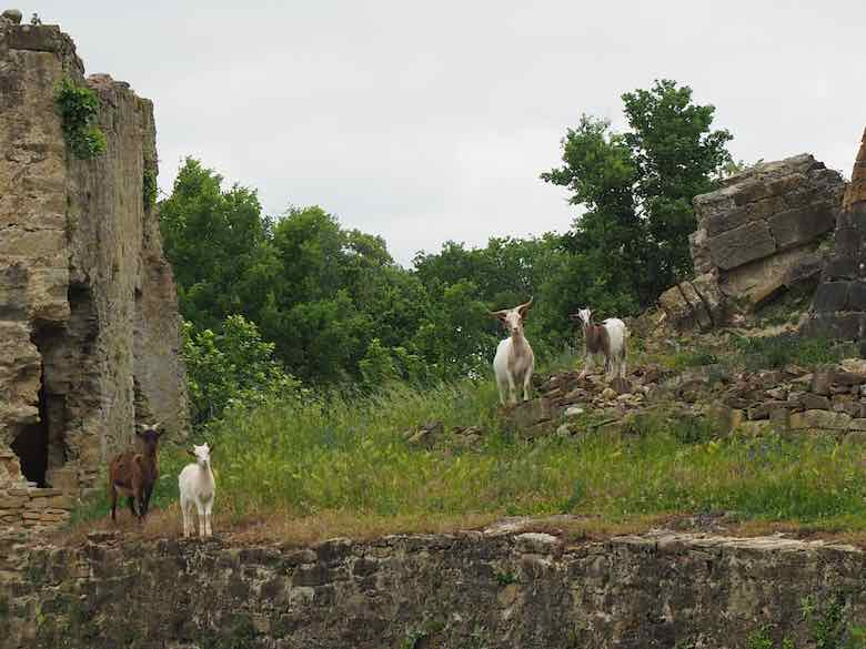 Goats at Chateau de Lagarde (J. Chung)
